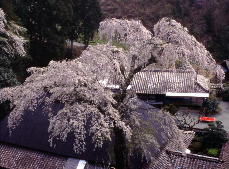 菅町のしだれ桜